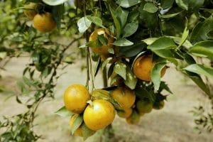 Dengan membeli jeruk dengan cara memetik sendiri langsung dari kebun, wisatawan diberi edukasi oleh para petani jeruk informasi akan jenis buah yang sudah layak di panen serta teknik memetik buah jeruk yang baik dan benar. MTD/Dadang Butar Butar