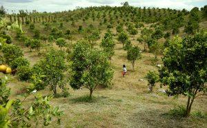 Memetik sendiri buah jeruk di lahan warga yang luas di Merek,Kabupaten Karo ini, wisatawan sambil berolah raga bertemankan landscape yang indah serta udara sejuk pegunungan. MTD/Dadang Butar Butar