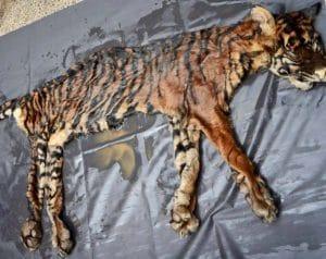 Kulit Harimau Sumatra (Panthera tigris sumatrae) pada gelar kasus di Mapolda Sumatera Utara, Medan, Senin (17/10). MTD/Suhardiman