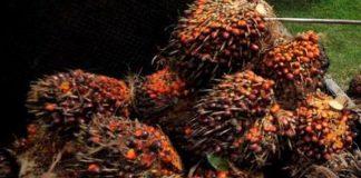 Sawit merupakan salah satu sektor pertanian menjanjian untuk rakyat Indonesia(Berry Subhan Putra/Kompas.com)