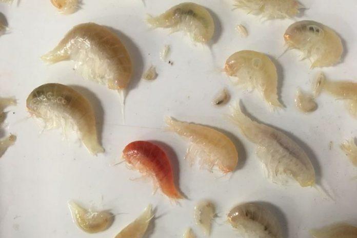 Para peneliti mengumpulkan krustasea ini dari dasar laut terdalam di bumi(Newcastle University)