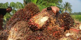 Sejumlah pekerja berada di samping tumpukan Tandan Buah Segar (TBS) kelapa sawit di salah satu tempat pengumpulan di Desa Matang Supeng, Kecamatan Simpang Ulim, Aceh Timur, Aceh, Kamis (12/1). Sejak sebulan terakhir harga tandan buah segar kelapa sawit tingkat pedagang pengumpul mulai naik dari Rp 1.050 per kilogram menjadi Rp 1.475 per kilogram. ANTARA FOTO/Syifa Yulinnas/ama/17.