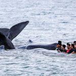 Petugas dari berbagai komponen dibantu warga berupaya mengevakuasi ikan paus yang terdampar di Pantai Ujong Kareung, Aceh Besar, Aceh, Senin (13/11). ANTARA FOTO/Irwansyah Putra