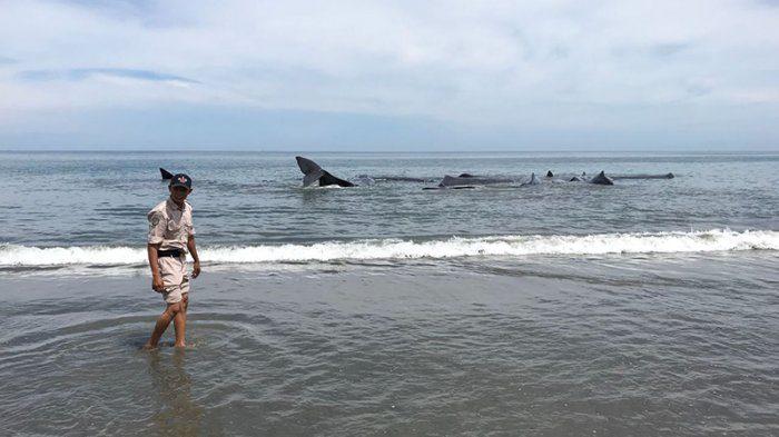 Ikan paus terdampat di Pantai Ujong Kareung, Kecamatan Mesjid Raya, Aceh Besar, Senin (13/11/2017). (SERAMBINEWS.COM/M ANSHAR)
